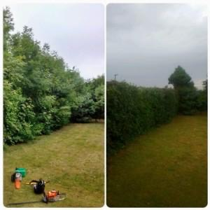 Hedge thinning before and after